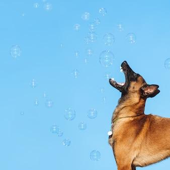 Mechelaar rashond vangt zeepbellen op een blauwe hemelachtergrond. herder speelt met ballen