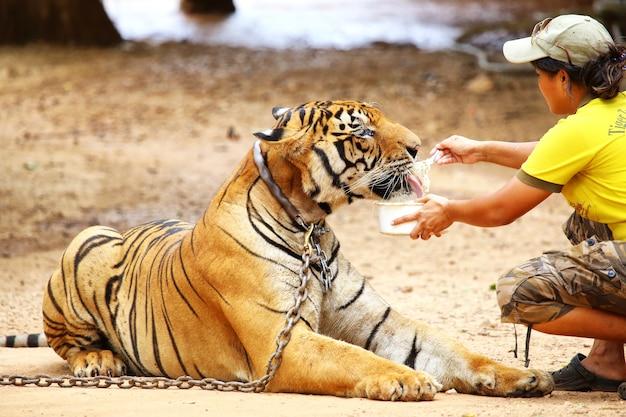 Medewerkersplaatsen op de vloer die grote tijger voeden bij de tijgertempel in kanchanaburi, thailand.