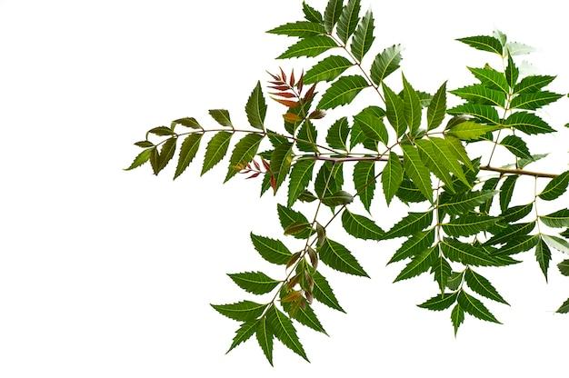 Medicinaal neemblad op een witte ondergrond. azadirachta indica.