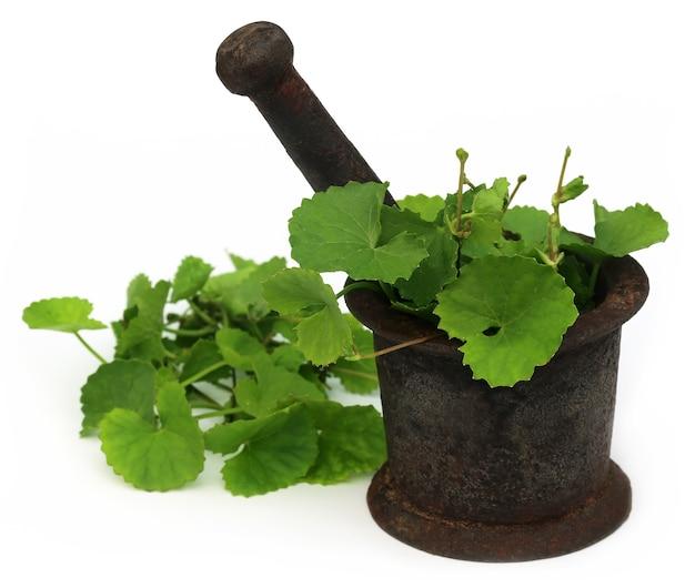 Medicinale thankuni-bladeren van het indiase subcontinent met vijzel en stamper