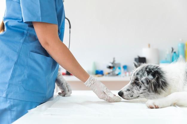 Medio sectie van vrouwelijke dierenarts voedende hond in kliniek