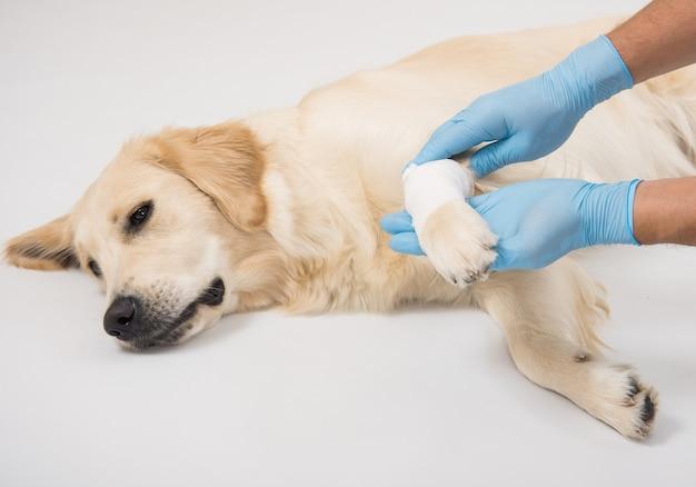 Medisch onderzoek van een witte hond poten met handen in handschoenen