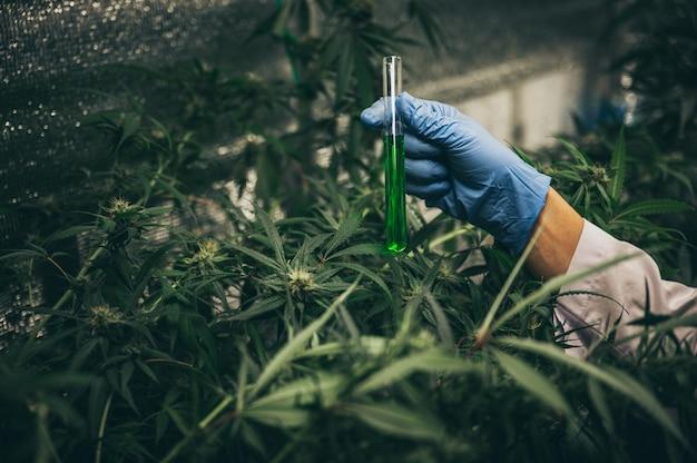 Medische marihuanabloemknoppen. recreatieve marihuanasoort. cannabissoort. wietknop in de glazen pot. apotheek menu. hennepknoppen.