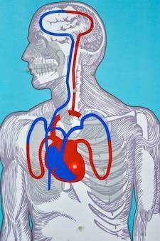 Medische simulator voor kunstmatige hartmassage met indicatie