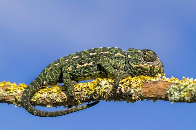 Mediterraan kameleon
