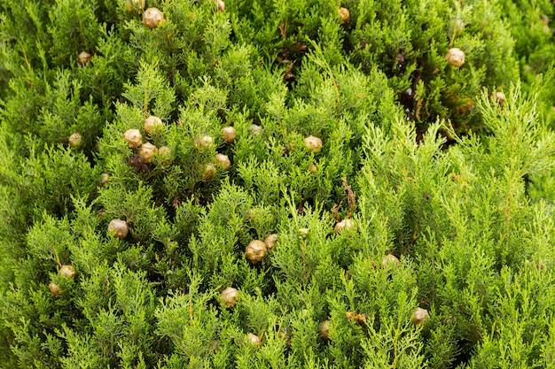 Mediterrane cipres jong gebladerte en kegels cupressus sempervirens italiaanse cipres toscaanse cipres perzische cipres potloodpijnboom