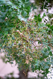Mediterrane hackberry (celtis australis) algemeen bekend als de europese brandnetelboom, loteboom of honingbes met fruit