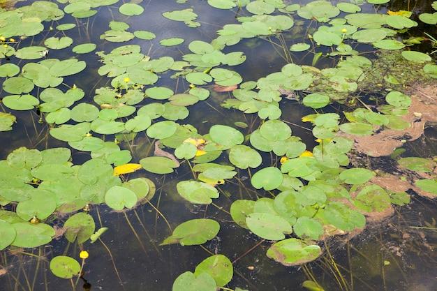 Meer met groeiende waterlelies