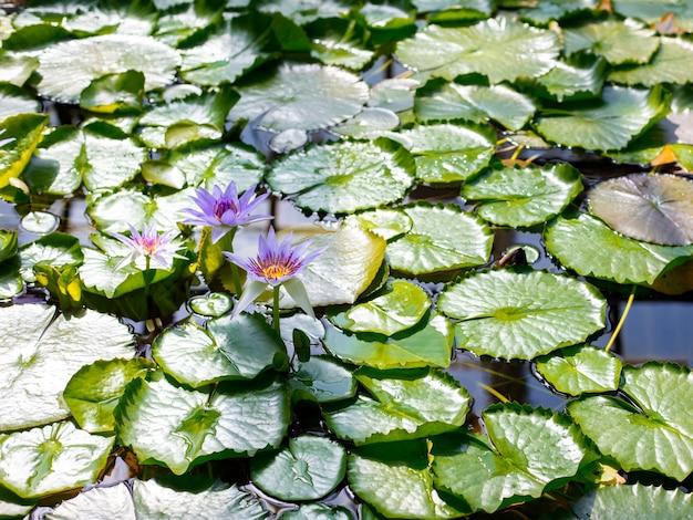 Meer met waterleliebloemen op blauw water. mooie waterlelie