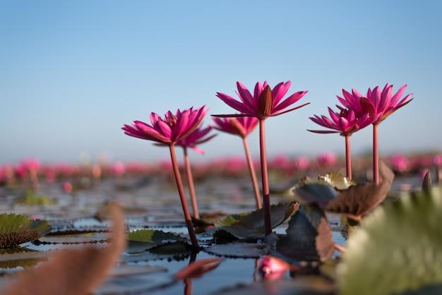 Meer van rode lotusbloem in hoogland thailand