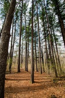 Meerdere hoge bomen in het bos