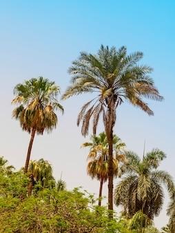 Meerdere palmen tegen een blauwe lucht boven andere bomen
