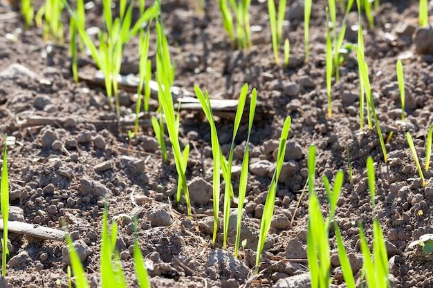 Meerdere rijen gras op een landbouwgebied; rogge groeit uit gras