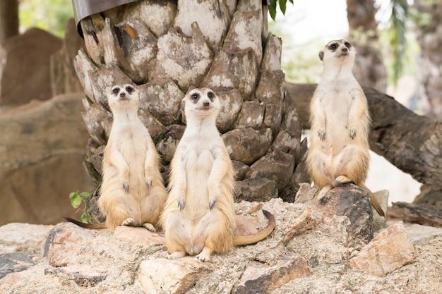 Meerkat die zich op een rots bevindt