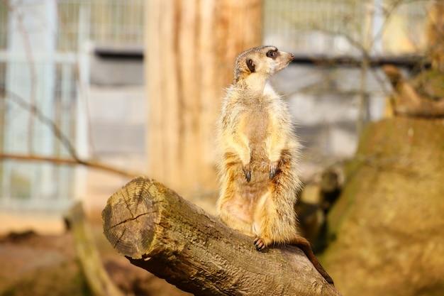Meerkat die zich op hout onder het zonlicht bevindt