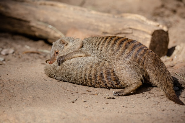 Meerkat is een zoogdier uit de familie herpestidae