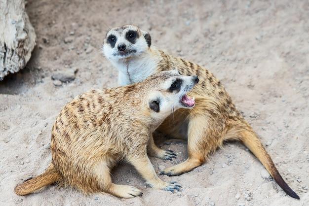 Meerkat let op de dreigende gevaren.