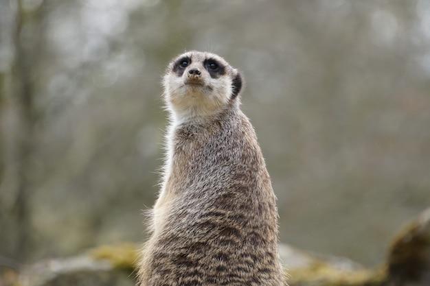 Meerkat met een grijze vacht die zit en omhoog kijkt met wazige bomen