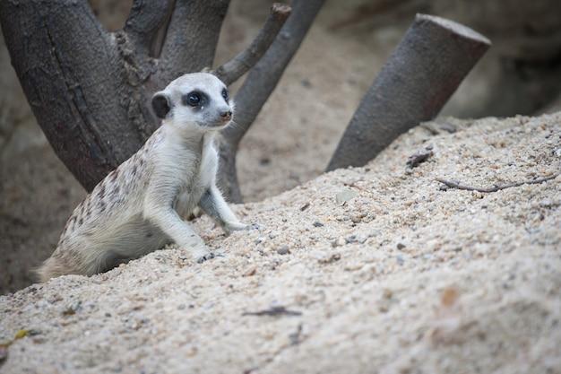 Meerkat met ruimte van zand