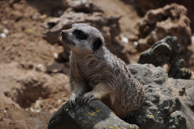 Meerkat of suricate, wild dier in actie