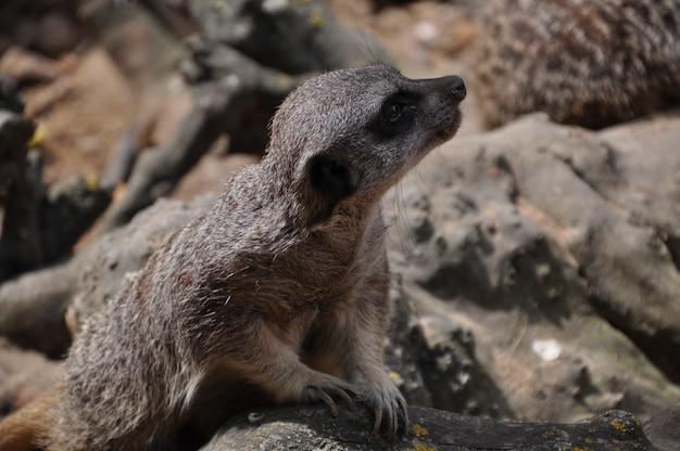 Meerkat of suricate