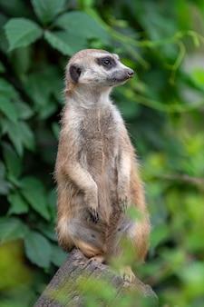 Meerkat staande in de jungle