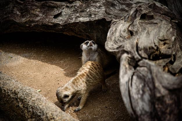 Meerkat, suricata-suricatta die op grond leeft