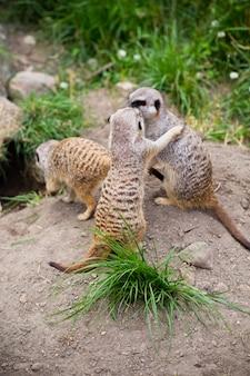 Meerkat, suricata, suricatta ook wel bekend als het suricaat. dieren in het wild.