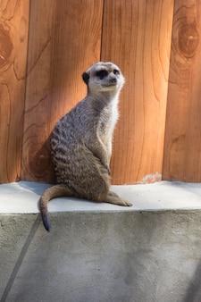 Meerkat zit buiten op een heuvel