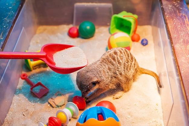 Meerkats in de dierentuin. suricate.