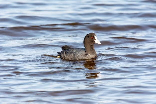 Meerkoet, (fulica atra) close-up wilde watervogel in een meer, zwemmen, vroege lente, dieren in het wild in natuurpark mallorca spanje