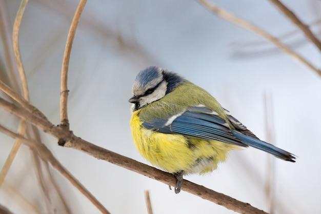 Mees vogel op een tak