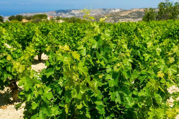 Meetkunde van rijen van struiken van wijngaarden op een achtergrond van bergen.