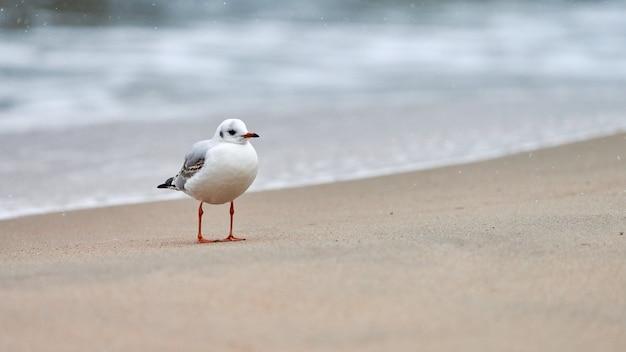 Meeuw die langs kust loopt. zeemeeuw met zwarte kop die zich alleen op zandstrand aan de oostzee bevindt