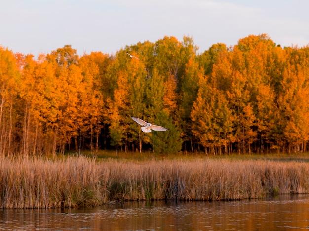 Meeuw die over een meer, meer van het hout, ontario, canada vliegt