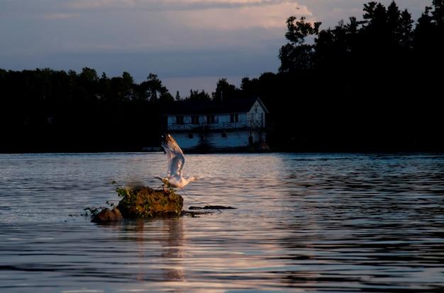 Meeuw op een rots in het midden van een meer, lake of the woods, ontario, canada