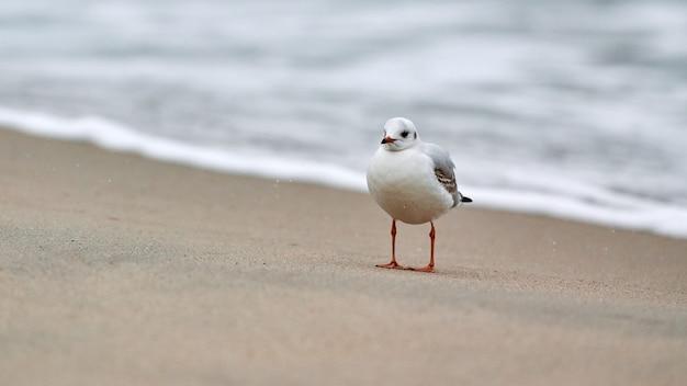 Meeuw wandelen langs de kust. zeemeeuw met zwarte kop die alleen staat op het zandstrand aan de oostzee. chroicocephalus ridibundus.