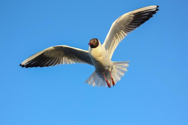 Meeuwen of meeuwen vliegen