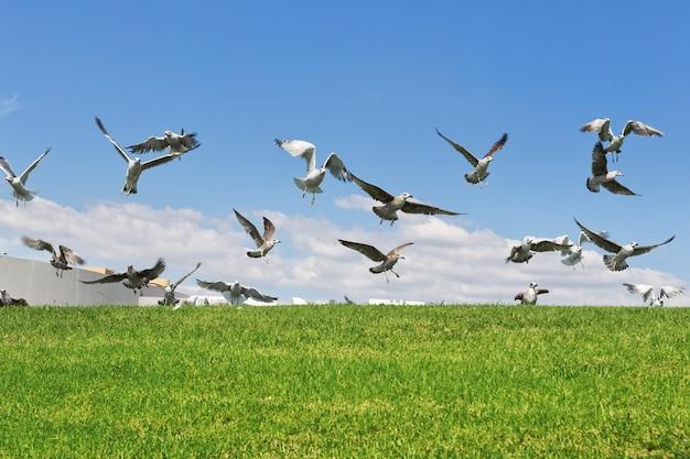 Meeuwen op het gras om de vlucht op te vliegen. detailopname.