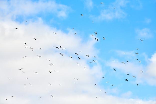 Meeuwen vliegen hoog in de blauwe lucht met witte pluizige wolken. silhouetten van zwevende witte vogels op natuurlijke hemelachtergrond als symbool van vrijheid, lichtheid en snelheid. hemeltextuur, kopieer ruimte.