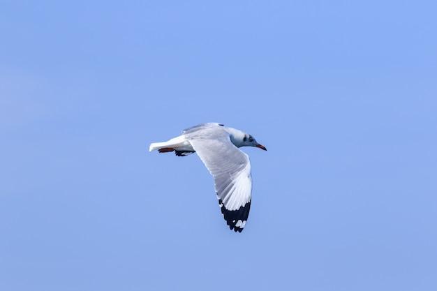 Meeuwen vliegen in de blauwe lucht, meeuwen zijn meeuwen, meeuwen zijn middelgrote vogels. de punt van de vleugelveren is zwart.