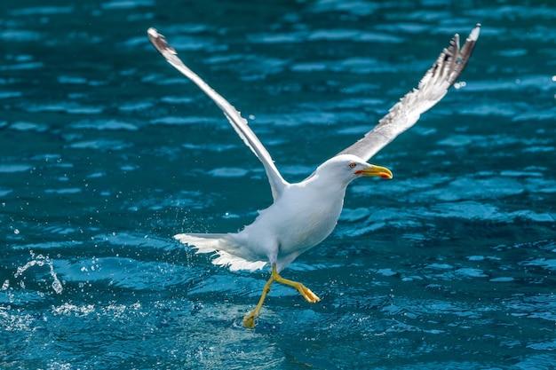 Meeuwen vliegen over de zee en jagen op vis