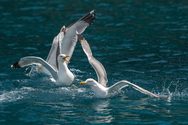 Meeuwen vliegen over de zee en jagen op vissen