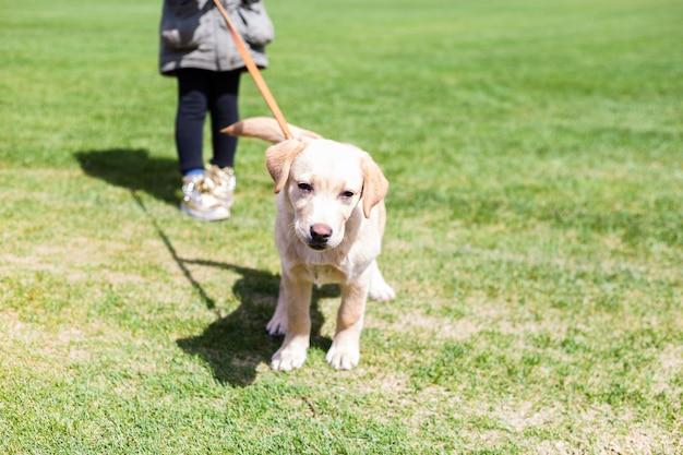 Meisje die een klein puppy van labrador op een leiband houden