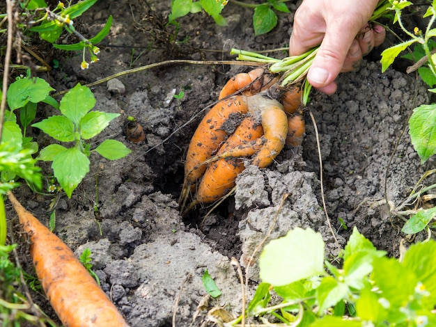 Meisje trekt lelijke grappige rauwe wortelen uit de grond