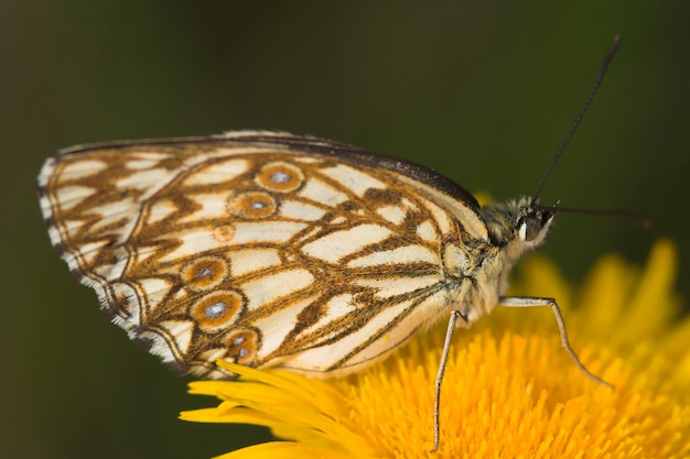 Melanargia-vlinder