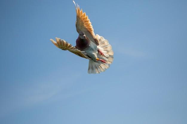 Melige veer postduif die tegen duidelijke blauwe hemel vliegt