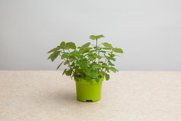 Melissa gekweekt uit zaden in een groene pot