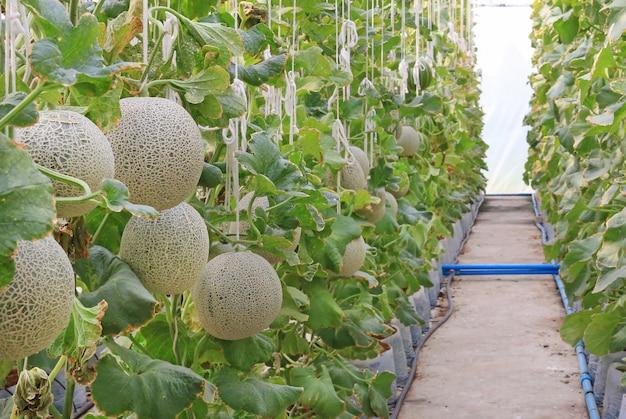 Meloen meloen in een kas boerderij.