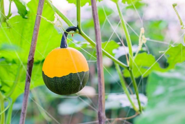Meloen twee toon in de boerderij